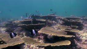 Onderwaterlandschap van koraalrif maldives stock videobeelden