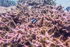 Onderwatermening van dode koraalriffen en mooie vissen snorkeling De Maldiven, stock foto