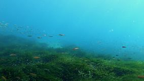 Onderwaterscène - Kleine vissen die over een groen posidoniagebied zwemmen stock footage