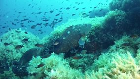 Onderwaterscène - Tandbaarsvissen die in bewolkt water zwemmen stock videobeelden