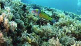 Onderwaterscène - Weinig groene vis die in een ertsader zeer dicht aan de camera zwemmen stock video