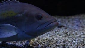 Onderwaterschot van een grote tandbaars stock footage