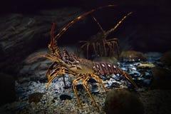 Onderwaterschot van levende kruipende langoest stock afbeelding