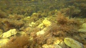Onderwaterschot van zeewier in de Zwarte Zee stock footage