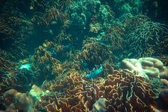 Onderwaterspruit van koraalrif Royalty-vrije Stock Foto