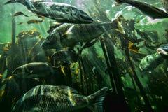 Onderwatervissen in een overzees van kelp stock foto