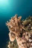 Onderwaterwereld in het Rode Overzees stock afbeelding
