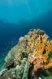 Onderwaterwereld in het Rode Overzees royalty-vrije stock fotografie