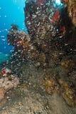 Onderwaterwereld in het Rode Overzees royalty-vrije stock afbeeldingen