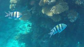 Onderwaterwereld van het Rode Overzees in Egypte stock videobeelden
