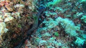 Onderzeese het wild - Grote moray paling in een ertsader stock video