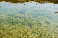 Ondiepe zoetwatervijver met groene algen bij de bodem Natuurlijke groene Achtergrond royalty-vrije stock fotografie