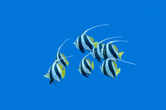 Ondiepte van bannerfishes in tropische overzees, onderwater Royalty-vrije Stock Foto's