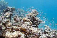 Ondiepte van glassfishes - Rode Overzeese Vegers, onderwater stock foto's