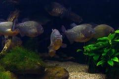 Ondiepte van piranha's met overzeese installaties royalty-vrije stock afbeelding