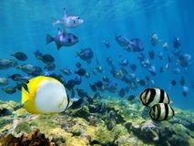 Ondiepte van tropische vissen over een koraalrif Royalty-vrije Stock Afbeeldingen