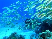 Ondiepte van vissen en de duiker Stock Afbeelding