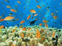 Ondiepte van vissen op de ertsader Royalty-vrije Stock Foto