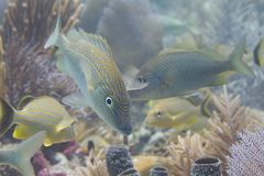 Ondiepte van Wit Gegrom met Bluestriped-Gegrom op Coral Reef stock foto