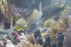 Ondiepte van Wit Gegrom met Bluestriped-Gegrom op Coral Reef stock afbeeldingen