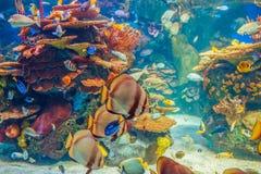 Ondieptegroep vele rode gele tropische vissen in blauw water met koraalrif, kleurrijke onderwaterwereld Royalty-vrije Stock Afbeeldingen