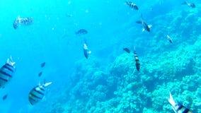Ondiepten van vissen dichtbij een koraalrif stock footage