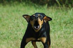 ondskefull hund Arkivbild