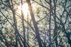 Ondskefulla taggar i buske Skarpt och hota taggar i en växt med förstoppning royaltyfri foto