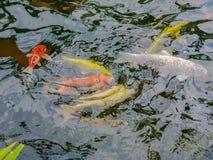 Onduidelijk beeld Kleurrijke Karpers of buitensporige Karpers of Koi-karpers die in de vijver zwemmen Royalty-vrije Stock Fotografie