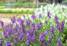 Onduidelijk beeld van de bloem van Benenth van angeloniagoyazensis Royalty-vrije Stock Fotografie