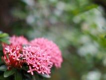 Onduidelijk beeld, zachte nadruk van ixora, mooie kleurrijke kleine uiterst kleine bloemen stock foto