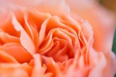 Onduidelijk beeldachtergrond van de rozen van David austin Stock Afbeelding