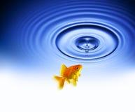 Ondulazioni della goccia di acqua del pesce rosso fotografia stock libera da diritti