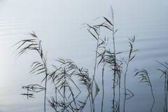 Ondulazioni molli nel paesaggio nebbioso Reed in nebbia spessa pacifica immagine stock libera da diritti