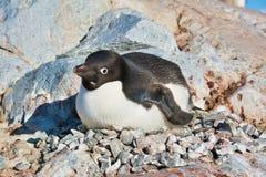 One Adelie penguin nesting in Antarctica. 2018 stock photography