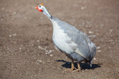 One adult bird - guineafowl afternoon walks on a pasture in the aviary on the farm. Royalty Free Stock Images