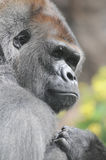 One Adult Black Gorilla Royalty Free Stock Images