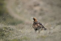 Adult eagle perched in the vegetation in the field Stock Photos