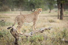 One adult female Cheetah standing on a dead log in Ndutu, Serengeti. National park, Tanzania Royalty Free Stock Photography