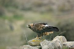 Adult female eagle inn between rocks in the field Royalty Free Stock Photo