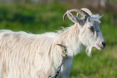One adult goat in a green meadow on a leash. Close up portrait photo Stock Photo