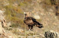 One adult golden eagle Stock Photo