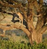 One Adult male Cheetah in a tree, Ndutu, Serengeti, Tanzania. One Adult male Cheetah standing in a tree, Ndutu, Serengeti, Tanzania Stock Photography