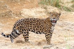One adult male leopard standing in drought parched brown dry grass. Looking at viewer. Compared to other wild cats, the leopard has relatively short legs and a stock photos