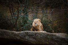 One adult male red lion resting, lying on a stone in the zoo of Basel in Switzerland in winter in cloudy weather.  Stock Image