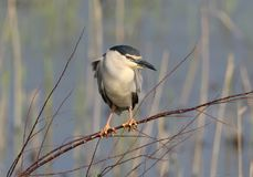 One adult night heron sits on a branch Stock Photography