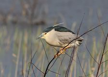 One adult night heron sits on a branch Royalty Free Stock Photos