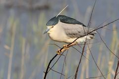 One adult night heron sits on a branch Royalty Free Stock Image