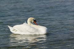 One adult white mute Swan lat. Cygnus olor is a bird of the duck family - resting on water. One adult white mute Swan lat. Cygnus olor is a bird of the duck royalty free stock images