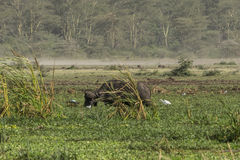 One African Buffalo on swamp Stock Image